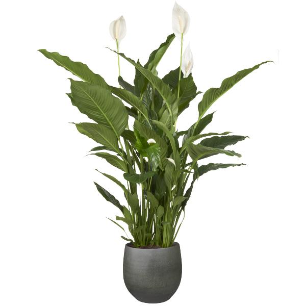 Lepelplant bij GroenRijk