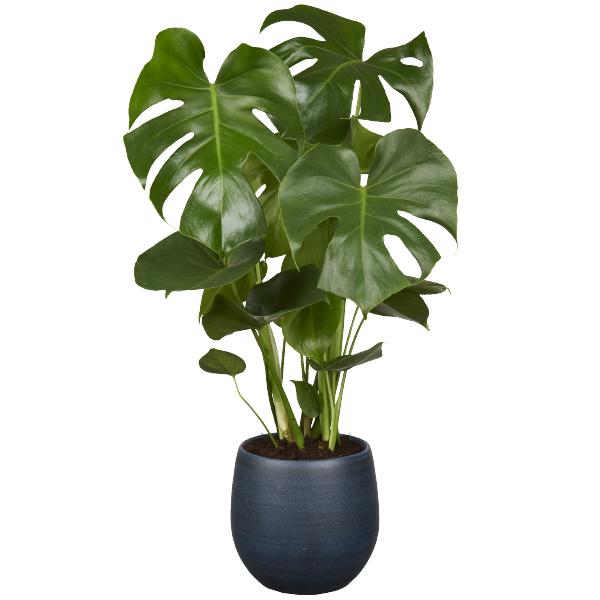 De Monstera Plant - GroenRijk