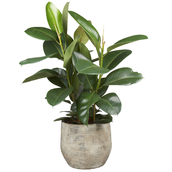 Rubberplant bij GroenRijk