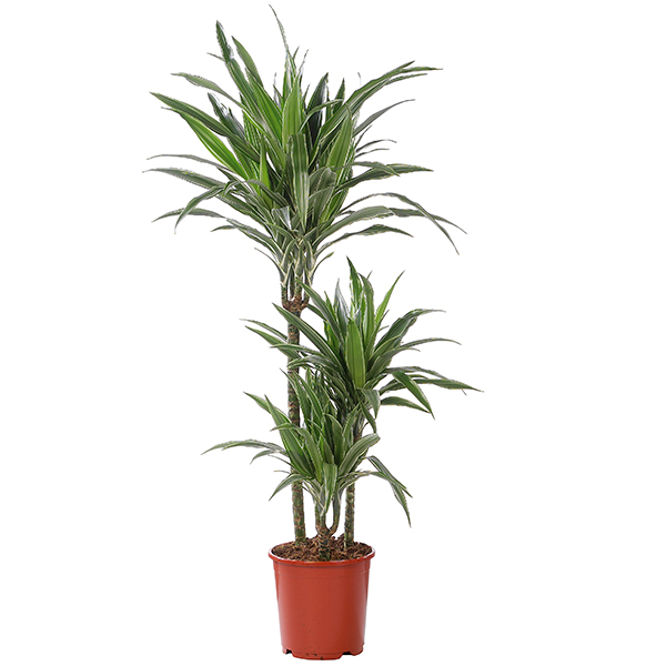 Dracaena plant - GroenRijk Tuincentra