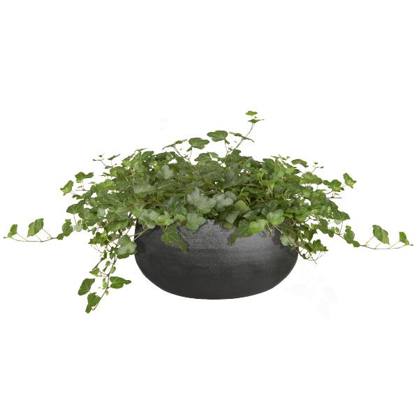 Klimop plantje - GroenRijk