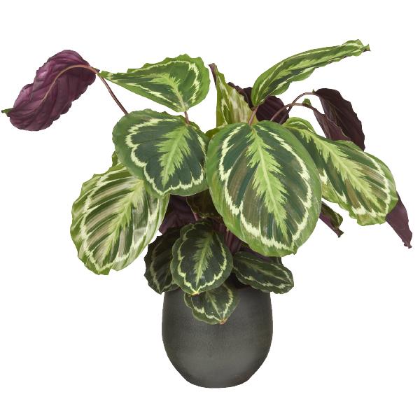 Calathea plant bij GroenRijk