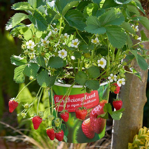 Aardbeien Planten Kopen Intratuin.Aardbeien In Hangpot Groenrijk