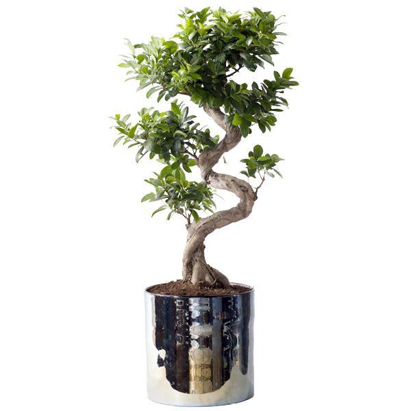 Boom In Pot Buiten.Ficus Ginseng Groenrijk
