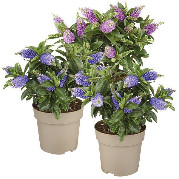 Vaste Planten In Pot Buiten Winterhard.Hebe Addenda Groenrijk