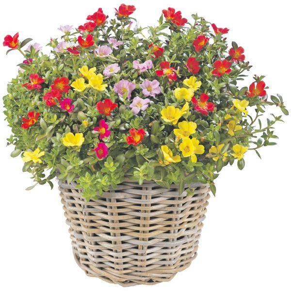 Bloeiende Vetplanten Voor Buiten.Portulaca Groenrijk