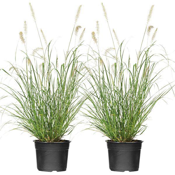 Grassen In Pot.Siergras Groenrijk