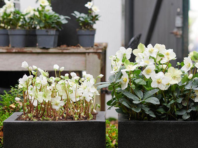Tuinplant Van De Maand December Helleborus Nieuws Groenrijk