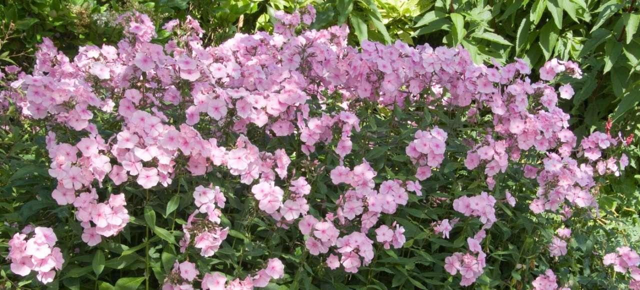 Verrassend veelzijdige geraniums GroenRijk